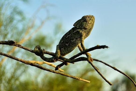 Ruta nocturna de camaleones